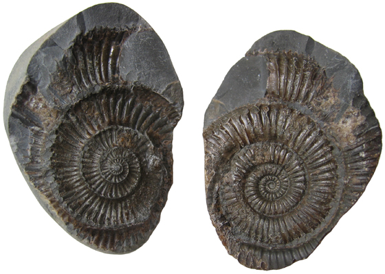 Ammonite Mold & Cast