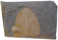 Glossopteris Leaf and Seed Scale